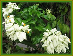 A broader view of the White Mussaenda plant
