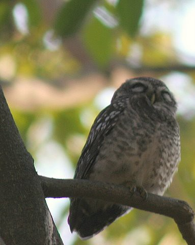Spotted owlet Lalbagh 7 Mar 07 one