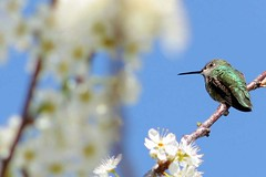 March 8: Name that hummingbird (gwen) Tags: sky tree bird 20d female hummingbird blossom bokeh alameda annashummingbird calypteanna 2007rules bokehwhores