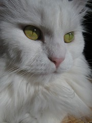 Emilly (mauzlover) Tags: pet cats sun animals yellow cat emily feline kitty sunny katze whitecat emilly abigfave kittysuperstar kissablekats bestofcats impressedbeauty kittyschoice superbmasterpiece diamondclassphotographer flickrdiamond mauzlover