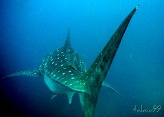 Whale Shark at Richelieu Rock, Thailand (_takau99) Tags: ocean trip travel sea vacation holiday fish uw nature water topv111 thailand island islands march shark topv555 topv333 nikon marine asia southeastasia underwater indian topv1111 topv999 indianocean topv444 dive scuba diving topv222 thai tropical coolpix scubadiving whale topv777 s1 whaleshark phuket topv666 topf10 similan khaolak 2007 surin andaman andamansea topv888 richelieu marinepark similanislands nikoncoolpix topf5 natinalpark similanisland takau99 richelieurock edive