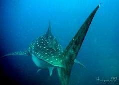 Whale Shark at Richelieu Rock, Thailand (_takau99) Tags: ocean trip travel sea vacation holiday fish uw nature water topv111 thailand island islands march shark topv555 topv333 nikon marine asia southeastasia underwater indian topv1111 topv999 indianocean topv444 dive scuba diving topv222 thai tropical coolpix scubadiving whale topv777 s1 whaleshark phuket topv666 topf10 similan khaolak 2007 surin andaman andamansea topv888 richelieu marinepark similanislands nikoncoolpix topf5 natinalpark similanisland takau99 richelieurock edive