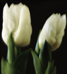 Soft Tulips (Kirsten M Lentoft) Tags: white flower closeup soft tulips masterphotos momse2600 kirstenmlentoft