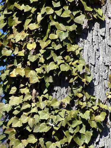Textures: Bark & Ivy