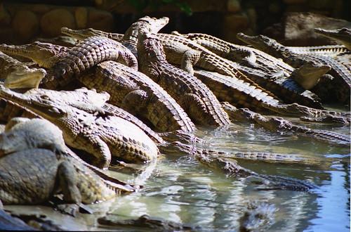 Krokodili 425036699_f77035040a