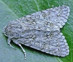 2279-DSCN1976 Sycamore (Acronicta aceris) (ajmatthehiddenhouse) Tags: acronictinae noctuidae moth acronictaaceris acronicta aceris sycamore kent stmargaretsatcliffe garden uk