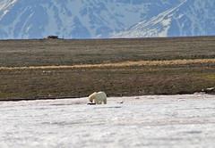 IMG_8508a Polar Bear (Thalarctos maritimus) Family (ajmatthehiddenhouse) Tags: spitsbergen 2005 thalarctos maritimus thalarctosmaritimus polarbear mammal