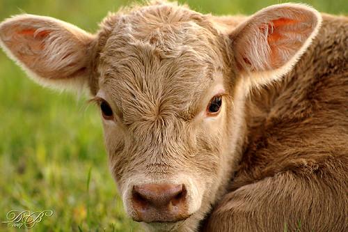 Charolais Limousin Cross Calf