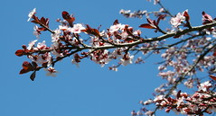 REACH FOR THE SKY (LISA M G) Tags: pink blue sky white canon eos rebel xt spring burgundy branches bluesky plumblossoms