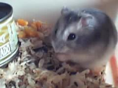 Auron (Zuviëh) Tags: hamster auron bixos