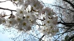 Sakura in Jōhoku-kōen, Itabashi