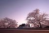 kyo_spring_walk 12 (private_2eyes) Tags: pink night evening twilight kyoto 京都 桜 祇園 cherryblossoms gion kenninji fullbloom 建仁寺