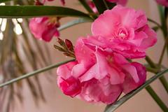 Double Oleander (malyousif) Tags: pink flowers home bahrain mygarden oleander doubleflower
