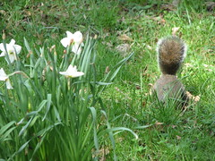 Daffodils and squirrel behind