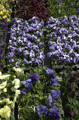 Flats of Pansies, Gowanus Nursery