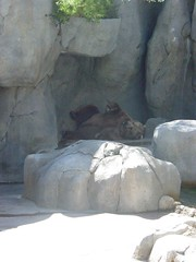 Spanky #1 (stevehamilton) Tags: california bear brown zoo sandiego sandiegozoo alaskan brownbear spanky alaskanbrownbear