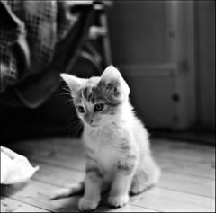 k k kitten (gorbot.) Tags: blackandwhite bw 6x6 mediumformat square kitten aberdeen squareformat scanned epson kiev kiev60 russiancamera v700 autaut thecatwhoturnedonandoff