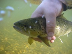 在Flickr上发布的特威德河褐鳟河鳟,Scotla,奇异对象
