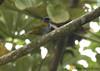 Blue-capped Tanager (Michael Woodruff) Tags: bird southamerica birds ecuador birding sa tanager bluecapped thraupis tandayapa tandayapavalley fbwnewbird fbwadded nwecuador bluecappedtanager thraupiscyanocephala