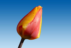 tulip (Yardenier- Geert van Duinen@NPS) Tags: flowers blue red sky holland green tourism nature water netherlands floral dutch yellow bulb season drops spring natural seasonal dew tulip fields springtime touristspot keukenhof lisse