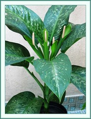 The complete plant of Dieffenbachia bowmannii 'Carriere' (Dumb Cane, Spotted Dumbcane, Leopard Lily
