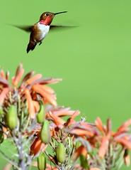 Hummingbird the Green
