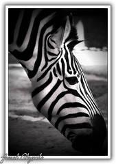 StRiPed (Jamal Alayoubi) Tags: bw white black zoo nikon stripes zebra kuwait d200 nikkor 18200 jamal parkstock q8picturescom alayoubi