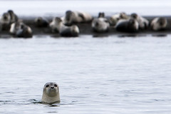 Why are you here? (LaStef) Tags: sea iceland seal seals hnavatnsssla phocavitulina sar landselur osarhunavatnssysla pinnped