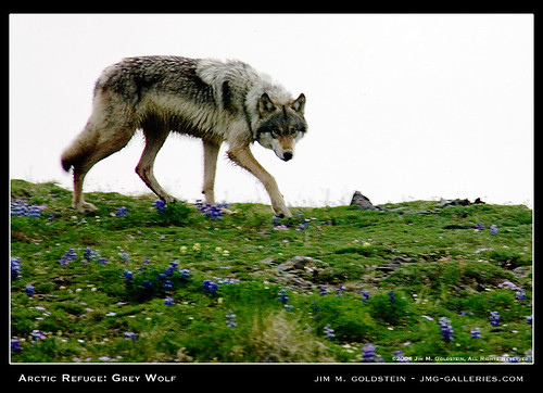 Arctic Refuge: Grey Wolf (Wild)