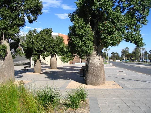 Adansonia-gregorii. Baobab, Bottle tree,