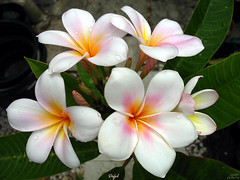 The Rare Defel Plumeria (mad plumerian) Tags: pink flowers usa white flower yellow purple florida plumeria frangipani tropicalflowers hybrids rareplant rareplants flowersinbloom defel plumeriasforsale rareplantsflowers hybridflowers