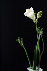 Freesia in White
