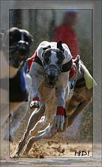 Greyhound Tee Gee Special im Finale