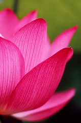 Lotus (Jim Mayes) Tags: macro film japan lotus kodak eos5 excellence ebx theworldinpink
