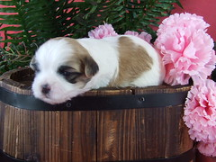 Holly @ 17 Days Old (hollyandsofia) Tags: pink flowers dog puppy shih tzu shihtzu maltese