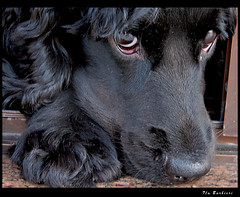 Sequncia Expresses Caninas / Dog Expressions Sequence - 7 (Fla Barbieri (Cokin Girl)) Tags: portrait dog co animal puppy sony preto cachorro cutedog h1 pretinho estimao dsch1 animalportrait bichinho 10faves animaladdiction anawesomeshot superaplus aplusphoto superhearts