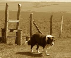 Sepia beauty (sbuliani) Tags: uk dog nature animal sepia landscape lumix panasonic soe stefano dmcfz50 impressedbeauty diamondclassphotographer flickrdiamond buliani sapessi stefanobuliani