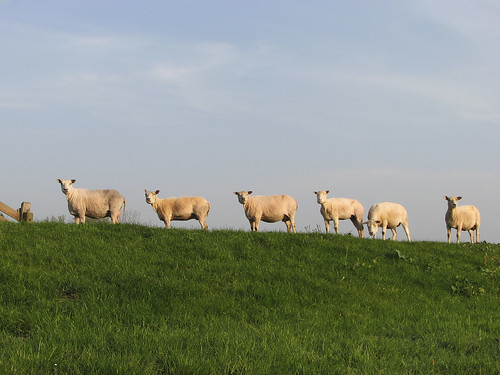 six sheep in a row