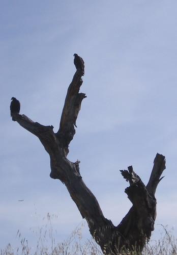 Vultures...