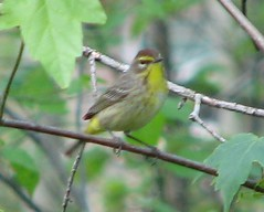 palm warbler - by ltshears