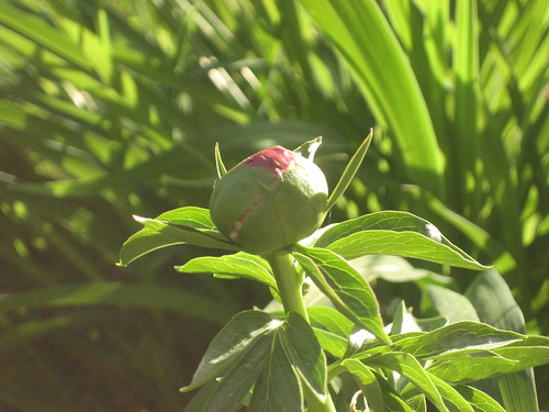 Peonie on the Verge