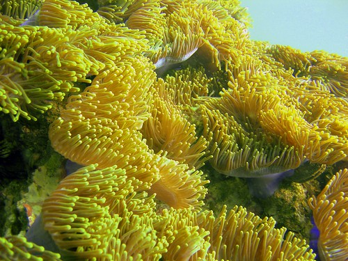 Koh Phi Phi Diving - Anemone Reef