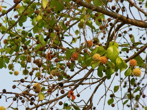 mitragyna speciosa  Mitragyna parvifolia picture photo bild
