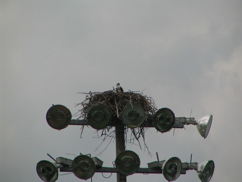 Osprey in a nest