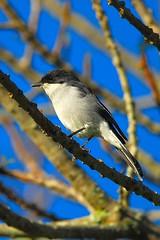 Little cutie (jeremyhughes) Tags: blue sky tree bird birds southafrica branches nikkor knysna nikond200 300mmf4d