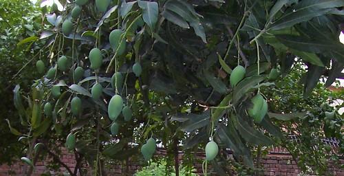Mangoes 02