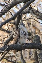 Central Park Hawk