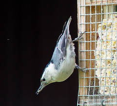 White-breasted Nuthatch at suet