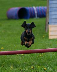 Bram jumps! (Typi) Tags: dog dogs jump jumping action bram hund agility dachs trippel hunder follo impressedbeauty aplusphoto