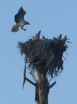 Osprey returns to his nest